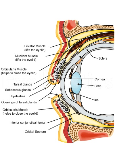 Anatomy of the upper and lower eyelids that are important for performing surgery