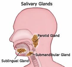 Location of major salivary glands